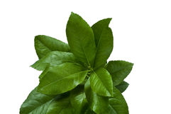 Citrus Leaves in a Bunch Royalty Free Stock Photo