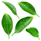 Citrus leaves with drops isolated on white royalty free stock photos