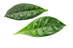 Citrus leaves with drops isolated on a white background Royalty Free Stock Photos