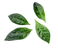Citrus leaves with drops isolated on a white background Stock Photos