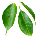 Citrus leaves isolated on white Stock Photo