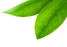 Citrus leaves Stock Photography