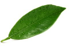 Citrus leaves isolated on white background stock image
