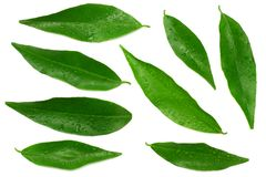 Citrus leaves isolated on white background. top view. mandarin leaves. orange leaves stock photos