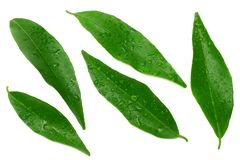 Citrus leaves isolated on white background. top view. mandarin leaves. orange leaves stock images