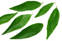 Citrus leaves isolated on white background. top view. mandarin leaves. orange leaves stock photo
