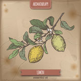 Citrus lemon aka lemon branch color sketch on vintage background. Aromatherapy series. Great for traditional medicine, perfume design, cooking or gardening Royalty Free Stock Images