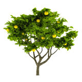 Citrus lemon tree isolated Royalty Free Stock Image