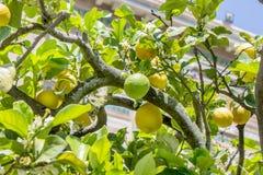 Citrus Stock Photography