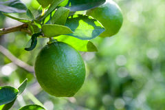 Citrus lime fruit on tree Stock Photography