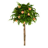 Citrus lime plant tree Royalty Free Stock Photo