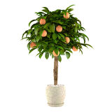 Citrus lime tree in the pot. Flowerpot Royalty Free Stock Image