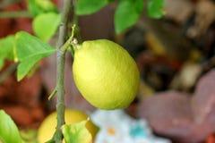 Citrus limon, lemon Stock Photography