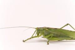 Citrus Locust/ Cotton Locust Chondracris rosea brunneri on whi Stock Image