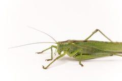 Citrus Locust/ Cotton Locust Chondracris rosea brunneri on whi Stock Photography