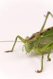 Citrus Locust/ Cotton Locust Chondracris rosea brunneri on whi Royalty Free Stock Image