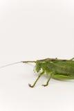 Citrus Locust/ Cotton Locust Chondracris rosea brunneri on whi Royalty Free Stock Images