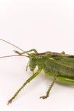 Citrus Locust/ Cotton Locust Chondracris rosea brunneri on whi Stock Photos
