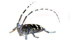 Citrus long-horned beetle Stock Images