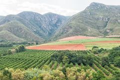 Citrus and maize farming in the Baviaanskloof Royalty Free Stock Images