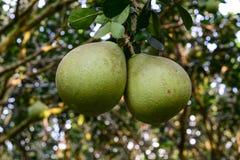 Citrus maxima fruits on the tree Stock Photography