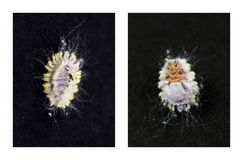 Citrus Mealybug Pests royalty free stock photo