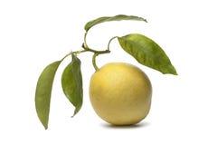 Citrus Medica fruit Stock Photos