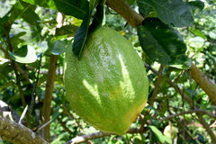 Citrus medica L. var. sarcodactylis (Hoola van Nooten) Swingle - RUTACEAE Royalty Free Stock Images
