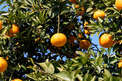 Citrus natsudaidai Royalty Free Stock Photo