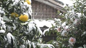 Citrus och blomma med snöfall stock video