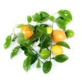 Citrus and Orange. Royalty Free Stock Photography