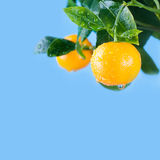 Citrus, orange, mandarin fruits branch in the. Garden. Summer time photo orange tree. Blue sky background, sunny day. Leaves and fruit with water drops. Copy Royalty Free Stock Image