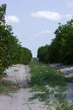 Citrus orchard. Citrus crops in Central Florida royalty free stock photography