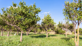 Citrus orchard in Sicily in summer day. Agricultural tourism in Italy - Citrus orchard in Sicily in summer day stock photography