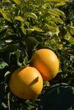 Citrus paradisi organico del pompelmo Immagini Stock Libere da Diritti