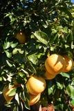 Citrus paradisi organico del pompelmo Fotografia Stock Libera da Diritti