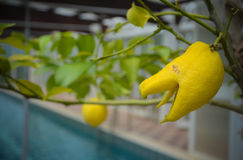 Citrus plant called Buddha's Hand in Italy Royalty Free Stock Photography