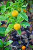Citrus plant Stock Photography