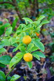 Citrus plant Royalty Free Stock Photography