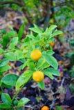 Citrus plant Stock Image