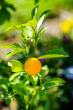 Citrus plant Royalty Free Stock Images
