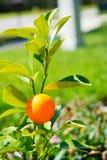 Citrus plant Royalty Free Stock Image
