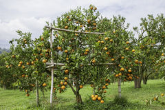 Citrus plantation stock photography