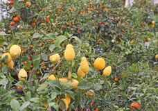 Citrus plants growing oranges and lemons in Sicily Stock Photography
