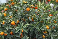 Citrus plants growing oranges and lemons in Sicily Royalty Free Stock Photography