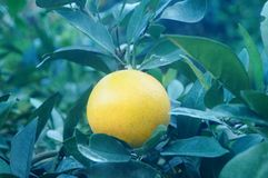 Citrus pomelo grows in the orchard. Grapefruit and citrus grow in the orchard. In Hunan, China royalty free stock photo