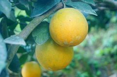 Citrus pomelo grows in the orchard. Grapefruit and citrus grow in the orchard. In Hunan, China stock images