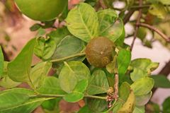Citrus rust mite on lime fruit, cause damage of fruit Stock Photo