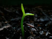Citrus seedling - day 1 Royalty Free Stock Image