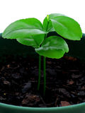 Citrus seedling - day 14. A clementine seedling - fourteen days' growth Royalty Free Stock Image